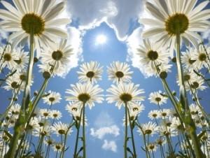 + daisies under sun:clouds Summer solstice 4813343_s