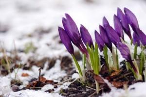 + purple crocuses in snow 4699976_s