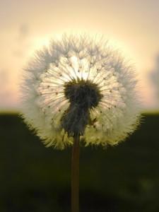 + Dandelion in sunset Radio Nov 15 30031370_s